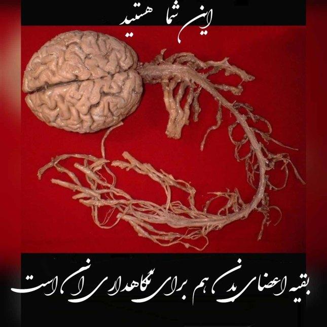 مغز.jpg